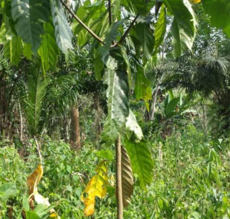 plantation cacao cateau cambresis